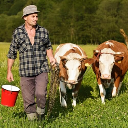 Allowing cattle to graze on grass is a healthy alternative to corn.
