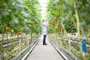 Food scientist inspecting tomatoes on plants in a greenhouse